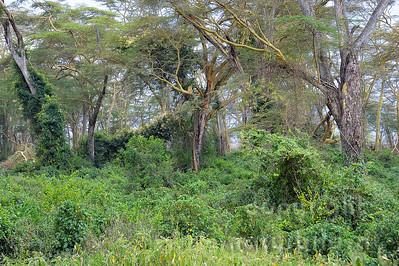 22-K40-14 - Wald am Lake Nakuru