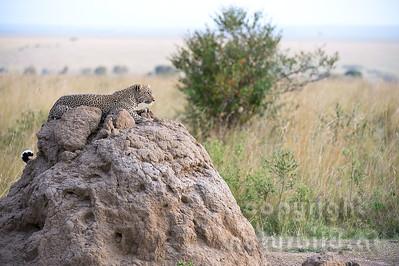 22-K14-35 - Leopard auf Termitenhügel