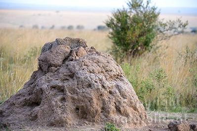 22-K14-32 - Leopard auf einem Termitenhügel