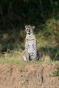 22-K14-51 - Leopard