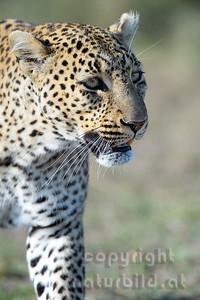 22-K14-66 - Leopard Porträt - 2