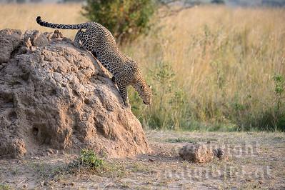 22-K14-39 - Leopard auf der Jagd -