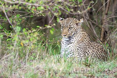 13-K05-22 - Leopard