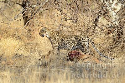 22-K14-13 - Leopard mit Beute