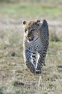 22-K14-68 - Leopard Porträt - 3