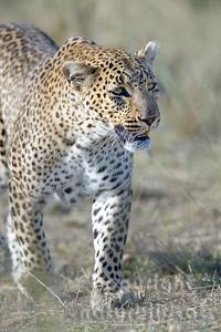 22-K14-64 - Leopard Porträt - 1