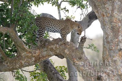 22-K14-93 - Leopard