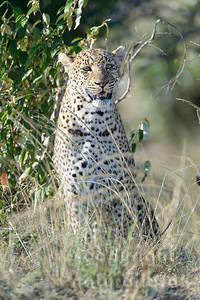 22-K14-62 - Leopard