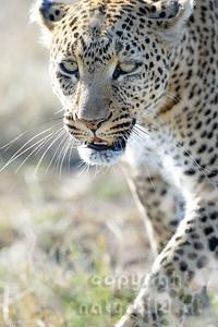 22-K14-71 - Leopard Porträt - 4