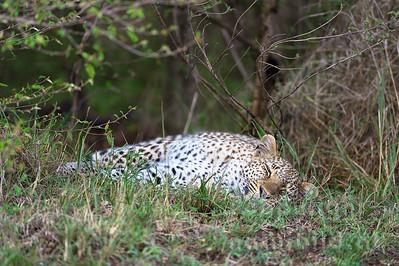 13-K05-18 - Leopard