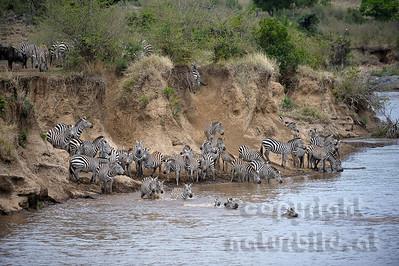 13-K08-03 - Zebra Migration