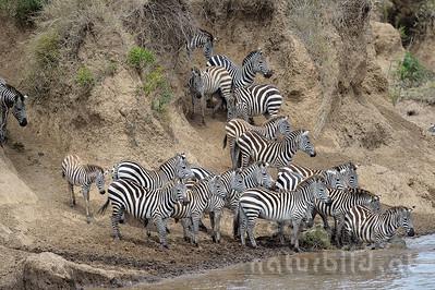 13-K08-12-Zebra-Migration