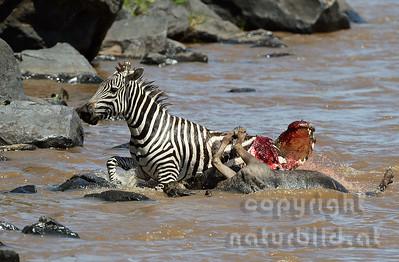 22-K39-09 - Krokodil attackiert Zebra - 3