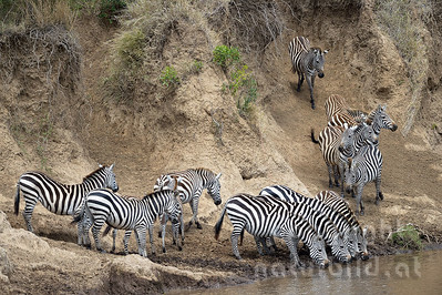 13-K08-09 - Zebra Migration