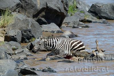 22-K39-03 - Krokodil attackiert Zebra - 1