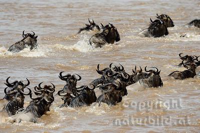 22-K03-12 - Gnus queren den Mara Fluss