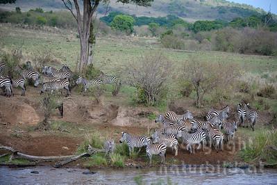 13-K08-01 - Zebra Migration