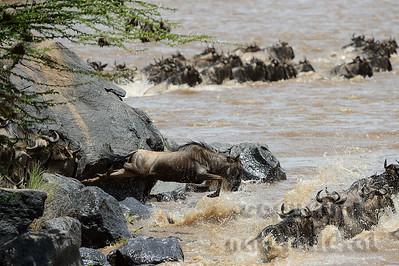 22-K03-17 - Gnu beim Crossing über den Mara Fluss