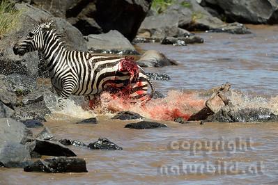 22-K39-11 - Krokodil attackiert Zebra - 4