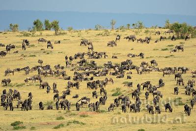22-K03-01 - Gnuherde in der Masai Mara