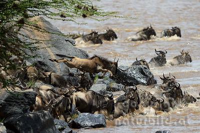22-K03-12 - Gnu beim Sprung in den Mara Fluss