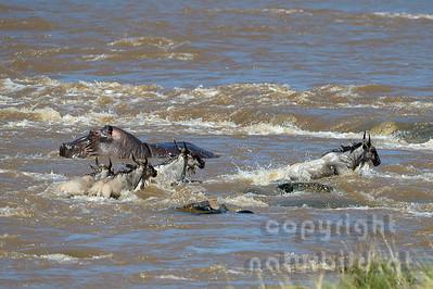 22-K03-30 - Gnus beim Crossing über den Mara Fluss