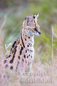 22-K17-16 - Serval Porträt