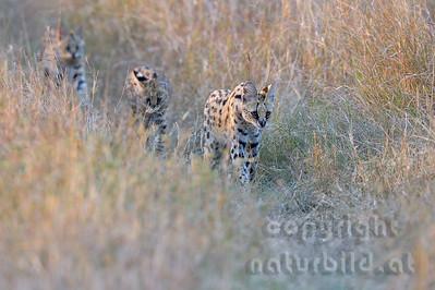 22-K17-16 - Serval Familie auf der Pirsch