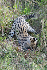 22-K17-30 - Serval