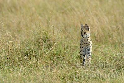 22-K17-03 - Serval