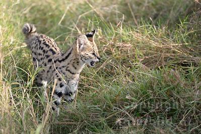 22-K17-26 - Serval