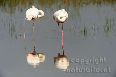 22-K22-09 - Rosa Flamingo