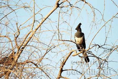 22-K26-13 - Weissbauch Lärmvogel