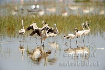 22-K22-08 - Rosa Flamingos - Jungvögel