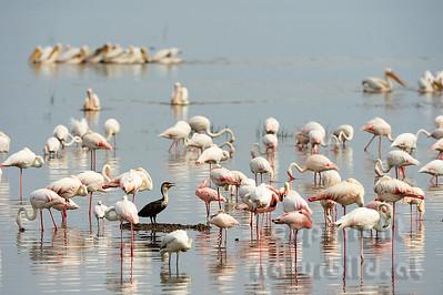 22-K22-12 - Rosa Flamingo
