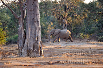 11-z09-67 - Afrikanischer Elefant
