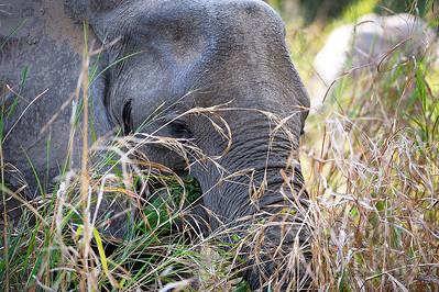11-z09-01 - Afrikanischer Elefant