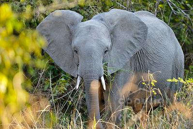 11-z09-19 - Afrikanischer Elefant