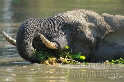 11-z09-85 - Afrikanischer Elefant mit Wasserpflanzen im Maul