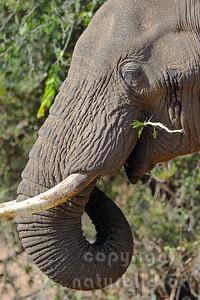 11-z09-76 - Afrikanischer Elefant