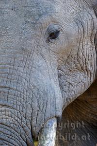 11-z09-10 - Afrikanischer Elefant - Porträt