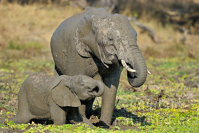 11-z09-45 - Afrikanischer Elefant