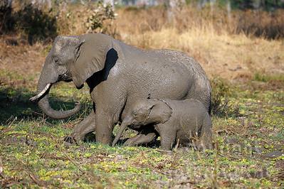 11-z09-51 - Afrikanischer Elefant