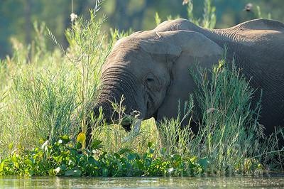 11-z09-78 - Afrikanischer Elefant