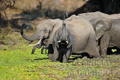 11-z09-25 - Afrikanischer Elefant