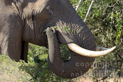 11-z09-75 - Afrikanischer Elefant
