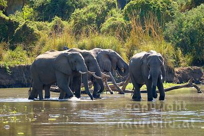 11-z09-68 - Gruppe Afrikanischer Elefanten