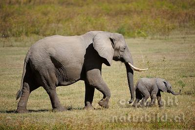 11-z09-15 - Afrikanischer Elefant