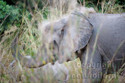 11-z09-05 - Afrikanischer Elefant