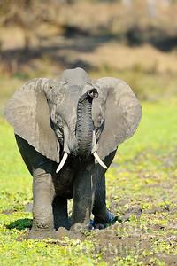 11-z09-60 - Afrikanischer Elefant